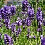 Buena+Vista+Lavender