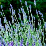 Hidcote+English+Lavender