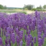 Hidcote+English+Lavender