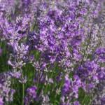 Sachet+Lavender