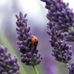 Giant+Hidcote+Lavender