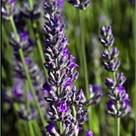 Seal+Lavender