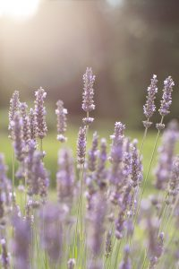 CowichanValleyLavender-8