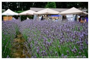Lavender 2015-10