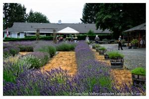 Lavender 2015-23