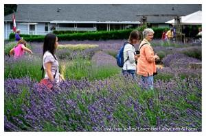 Lavender 2015-24