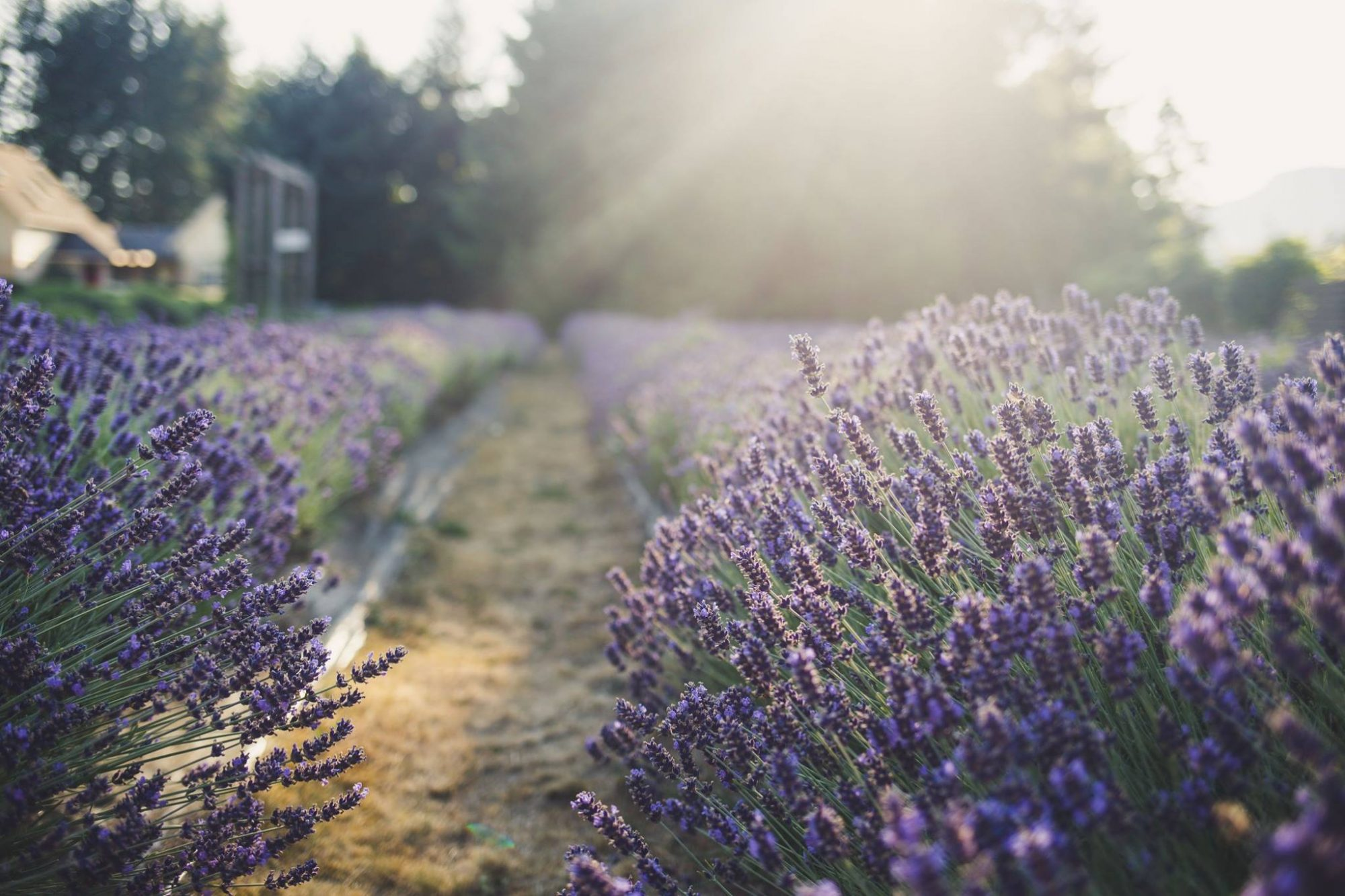 Cowichan Valley Lavender